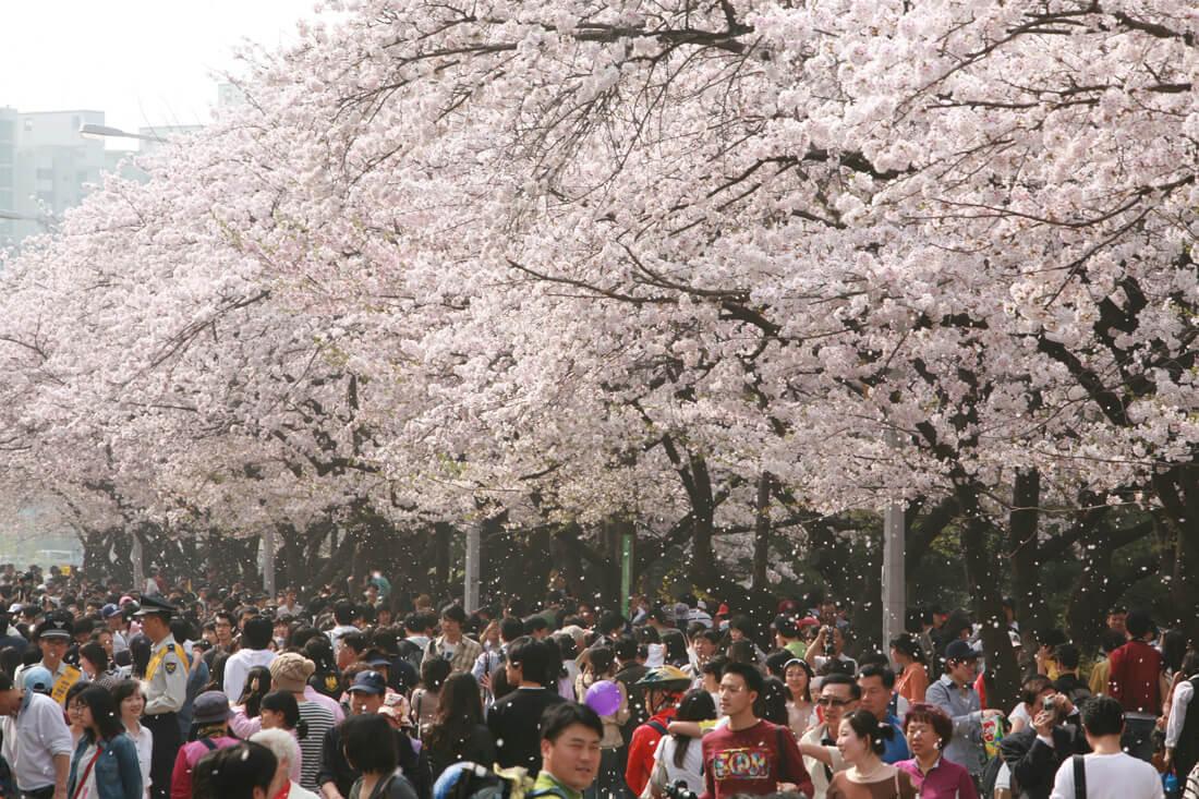 Cherry Festival 2020.Yeouido Spring Flower Festival 2020 April Festival